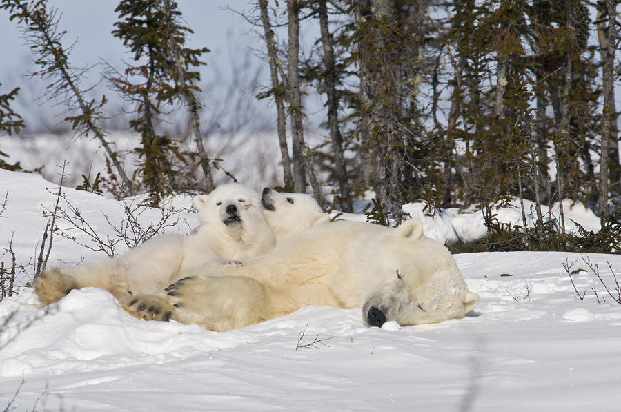Arctic Photograph - Polar bear family resting by Richard Berry
