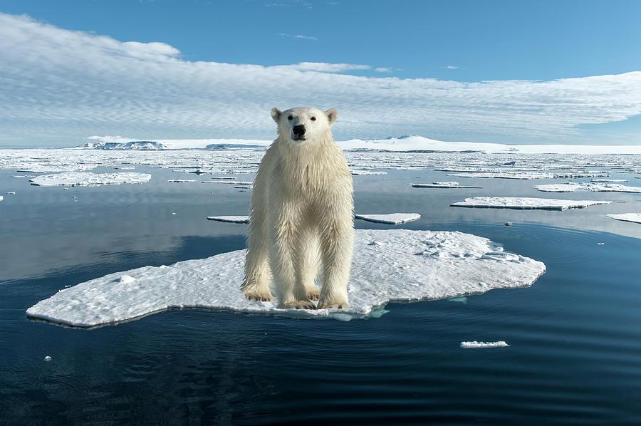 Polar Bear Photograph by Gabrielle Therin-weise