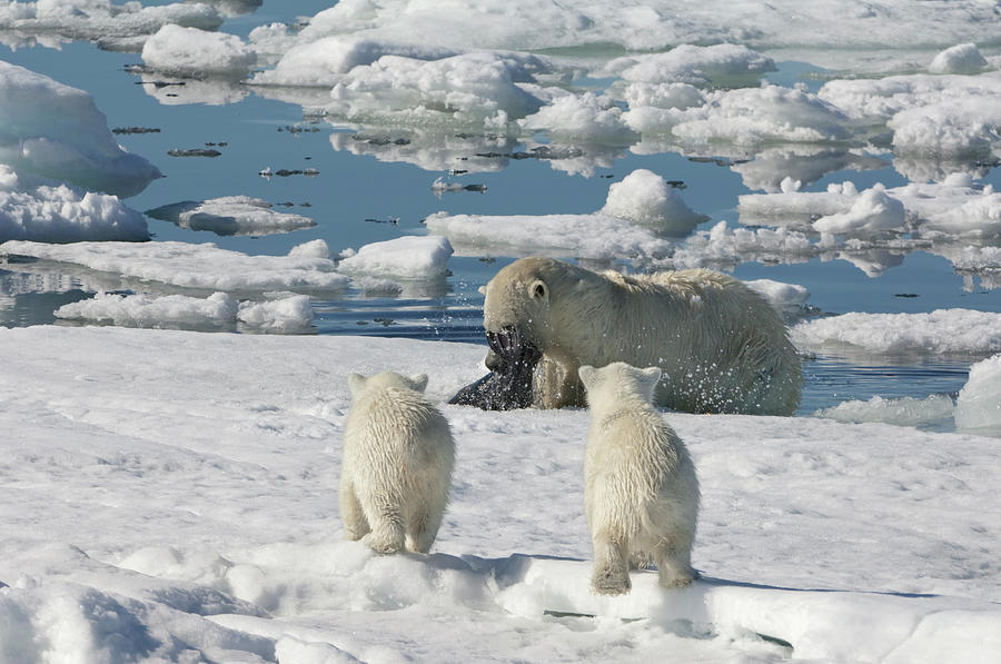 Polar Bear Hunting A Seal Photograph by Gabrielle Therin-weise