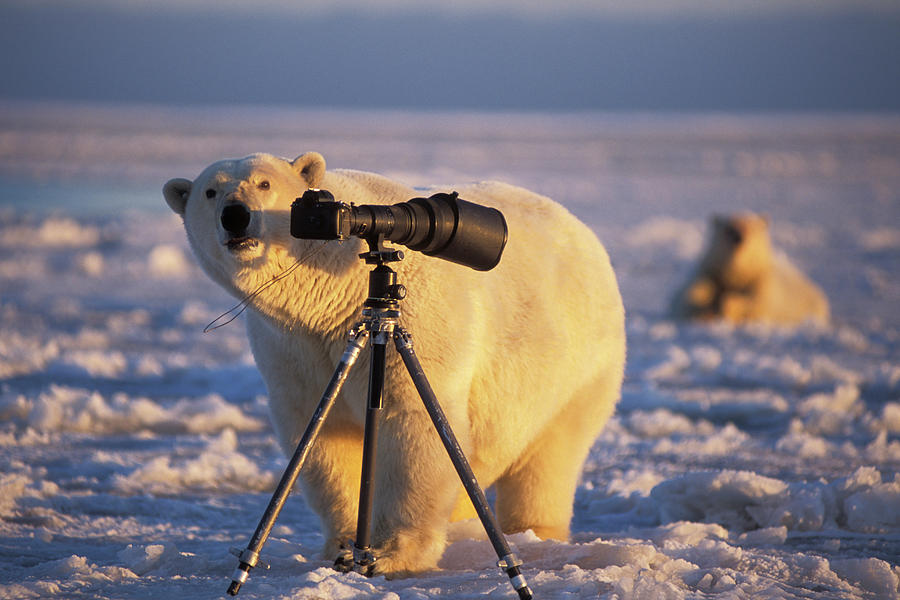 Alaska Photograph - Polar Bear Investigating Photographers by Steven J. Kazlowski / GHG