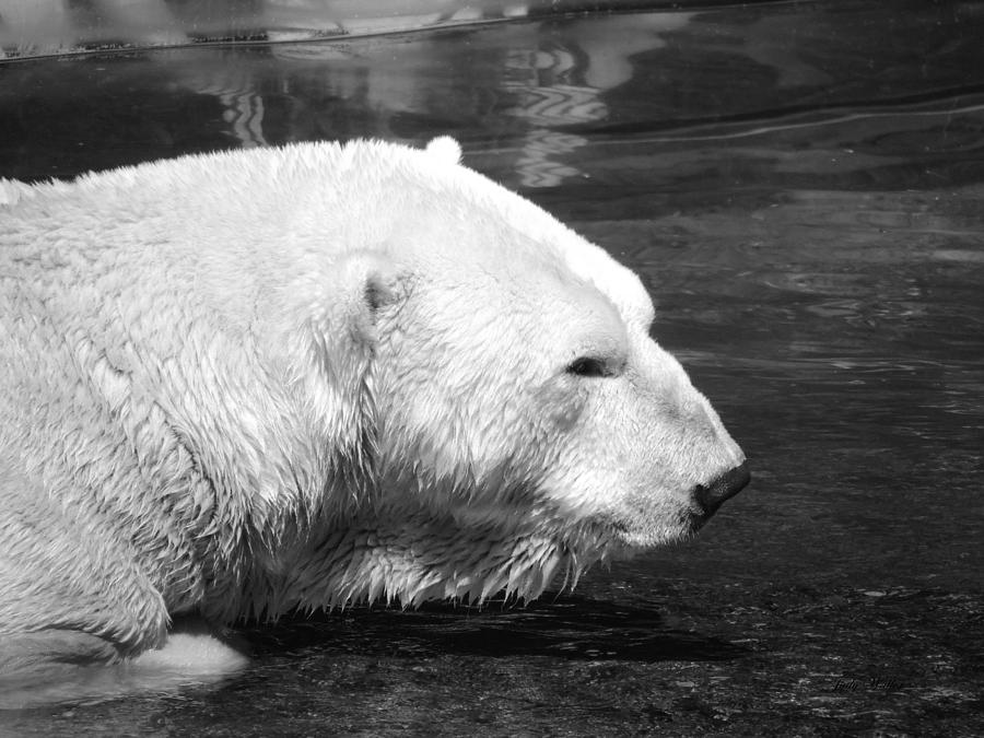 Polar Bear Photograph - Polar Bear by Judy  Waller