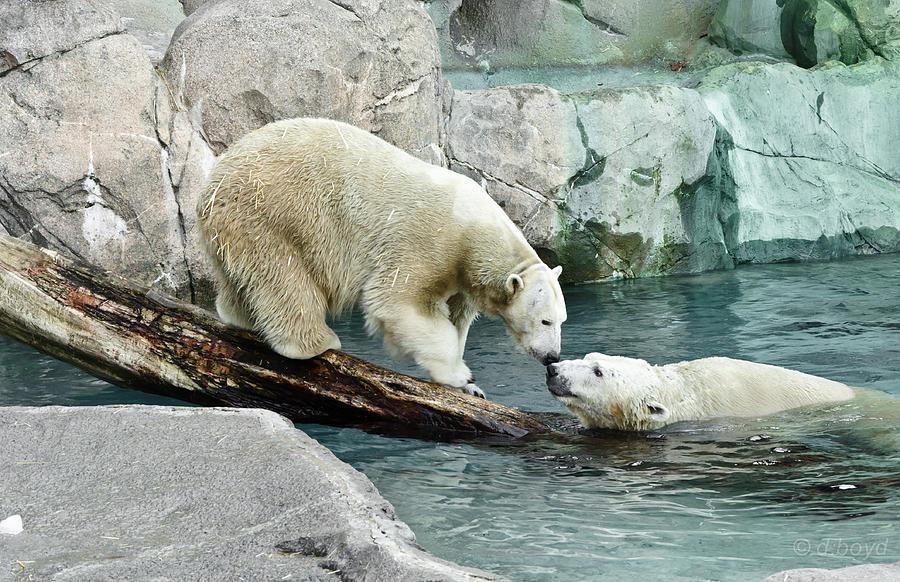 Nature Photograph - Polar Bear Kiss by Diana Boyd