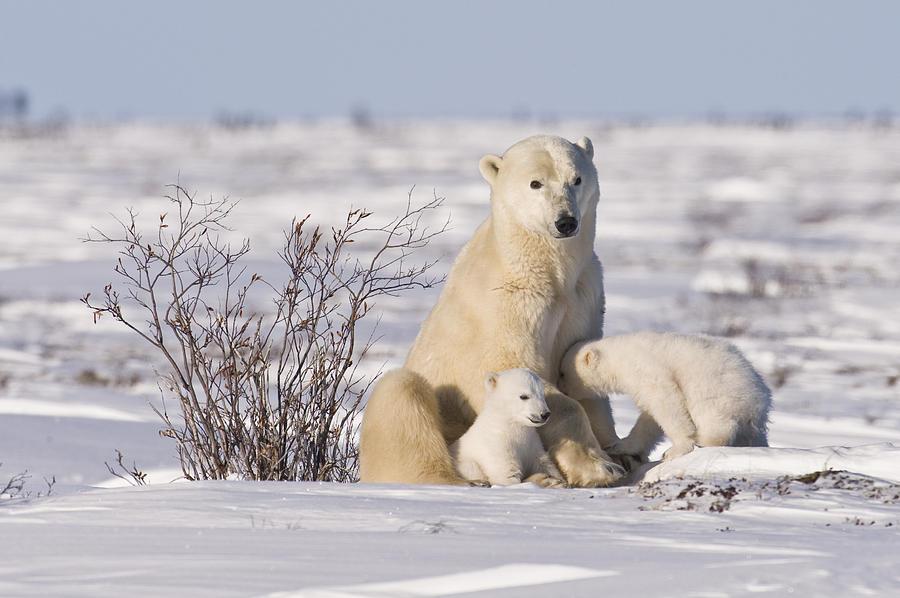 Arctic Photograph - Polar bear nurses cubs by Richard Berry