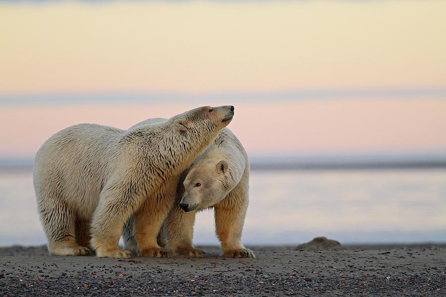 Polar Bear Photograph by P. De Graaf