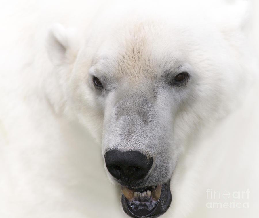Heiko Photograph - Polar Bear Portrait by Heiko Koehrer-Wagner