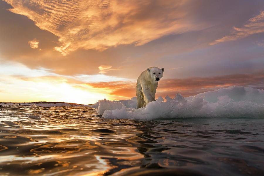 Polar Bear, Repulse Bay, Nunavut, Canada Photograph by Paul Souders