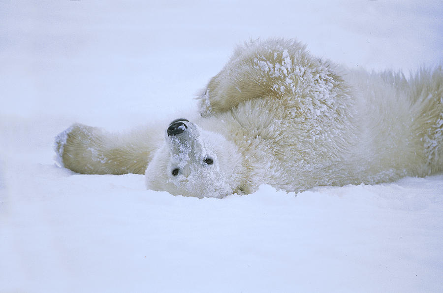 Polar Bear Rolling In Snow Hudson Bay Photograph By Konrad