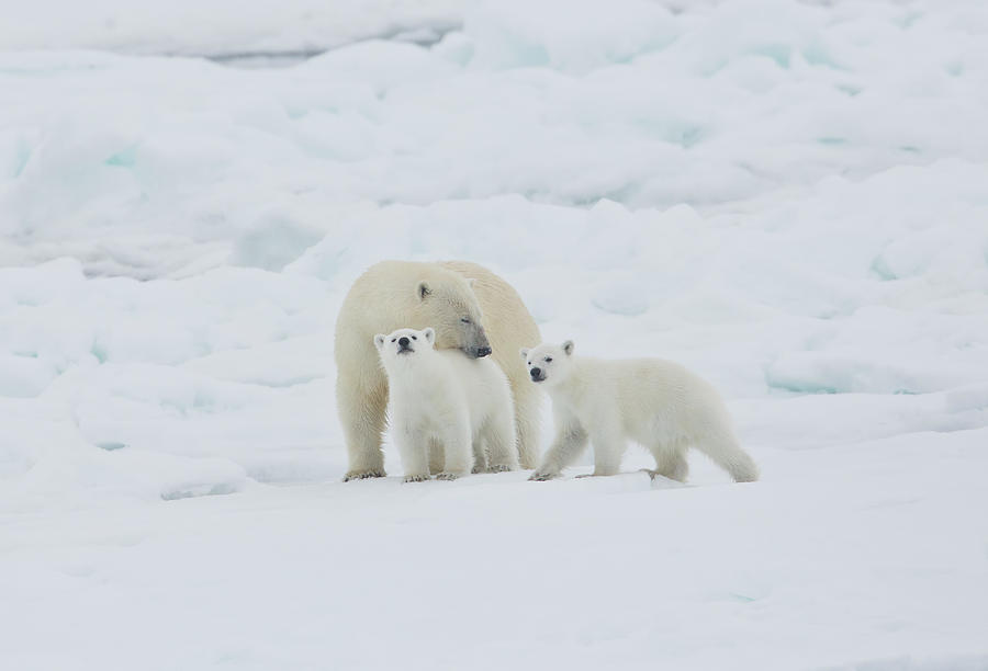 Polar Bear Sow With Young Cub High Photograph by Darrell Gulin