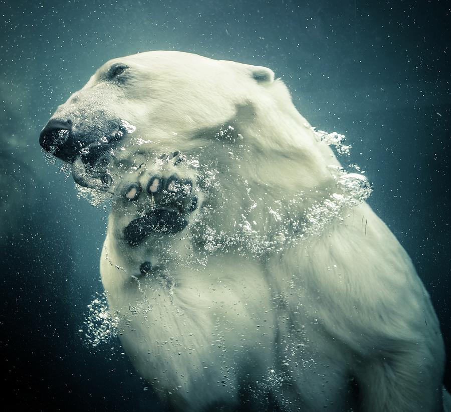 Polar Bear Swimming Photograph by Lise Ulrich Fine Art Photography