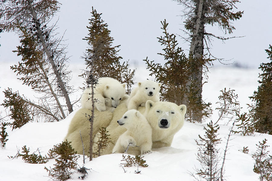 Polar Bear Ursus Maritimus Mother and Cubs Photograph by Matthias Breiter