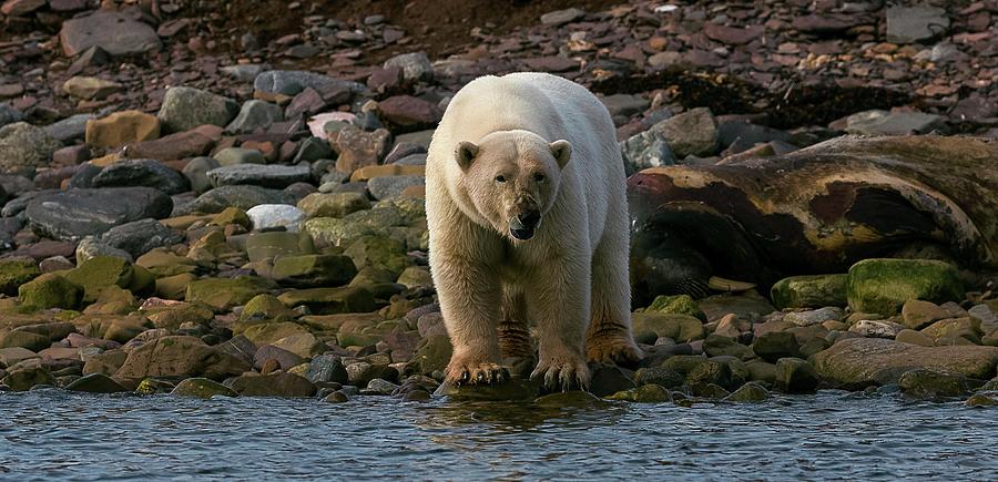 Horizontal Photograph - Polar Bear Ursus Maritimus On Coast by Animal Images