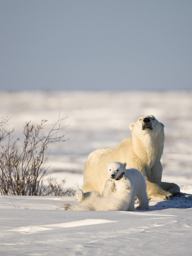 polar manitoba its on news watch bear in northern hitches ride watches cub mom