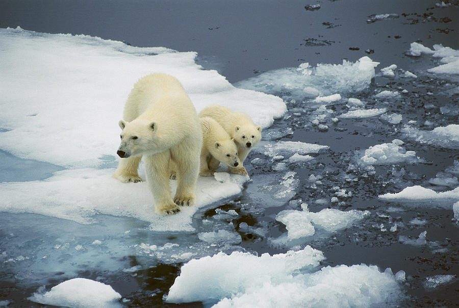polar bear with cubs on pack ice photograph by ingrid visser. Black Bedroom Furniture Sets. Home Design Ideas