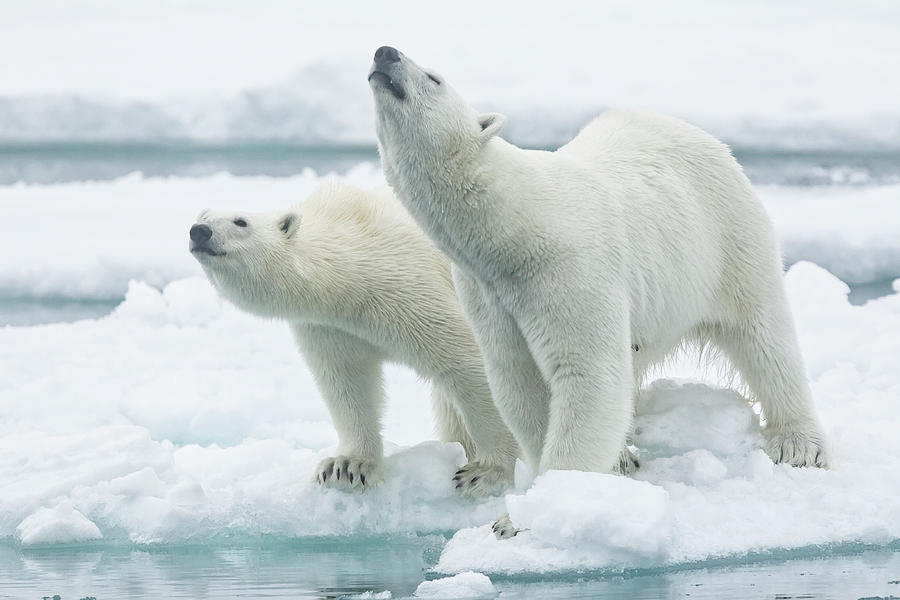 Mother Photograph - Polar Bears, Mother And Son by Joan Gil Raga
