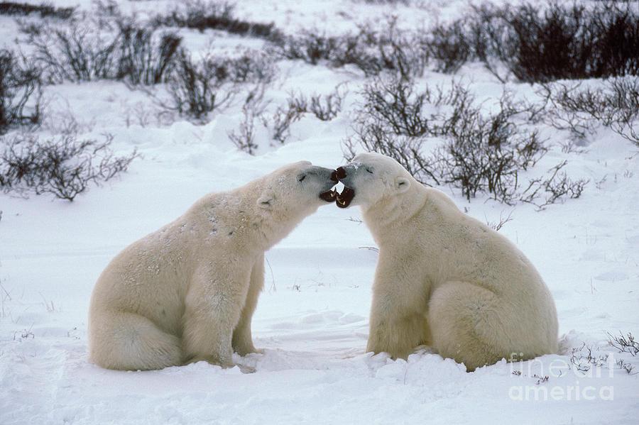 Animal Photograph - Polar Bears Sparring by Francois Gohier