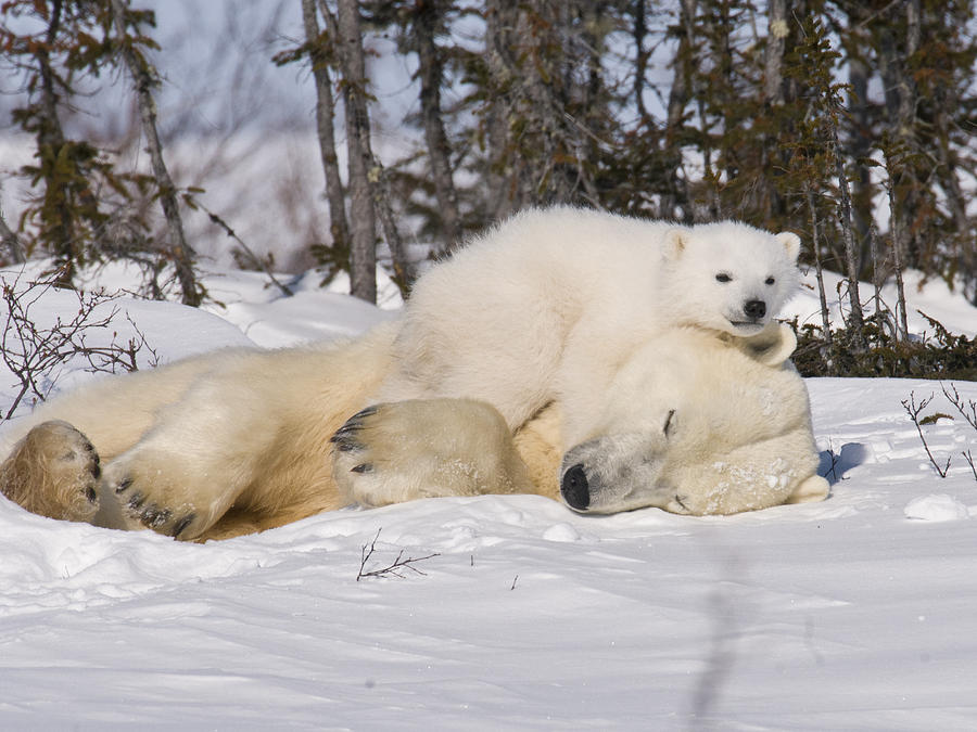 Arctic Photograph - Polar cub hugs its sleeping mother by Richard Berry