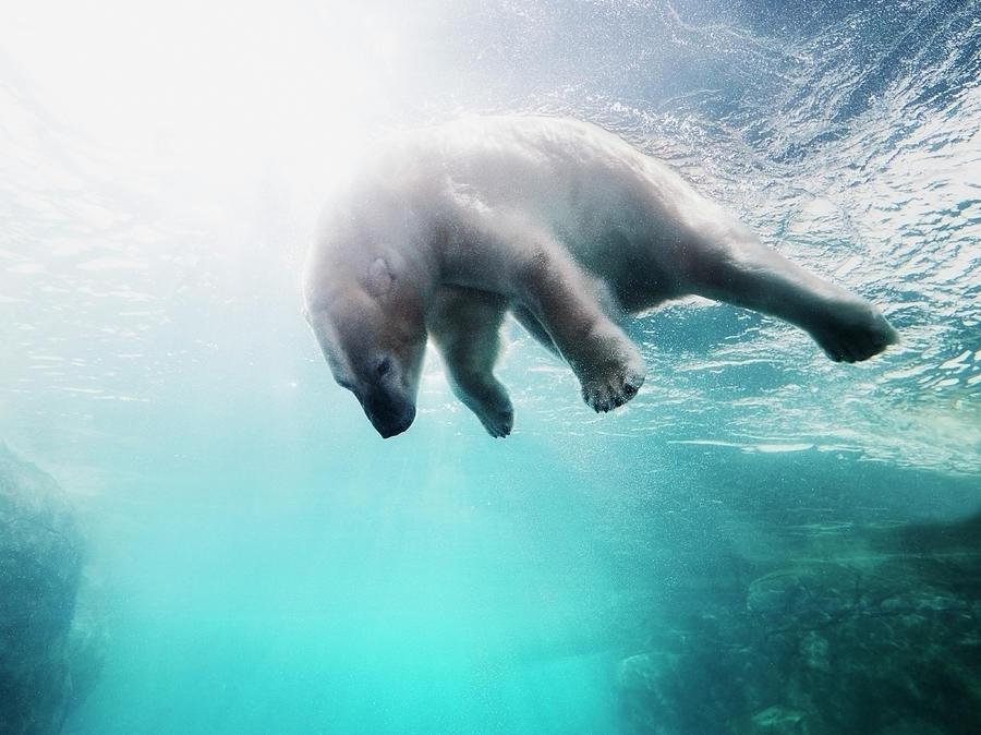 Polarbear In Water Photograph by Henrik Sorensen
