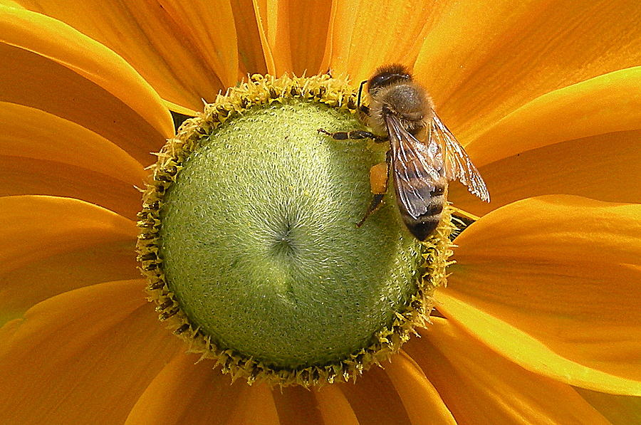 Decor Photograph - Pollen Time by Brian Chase