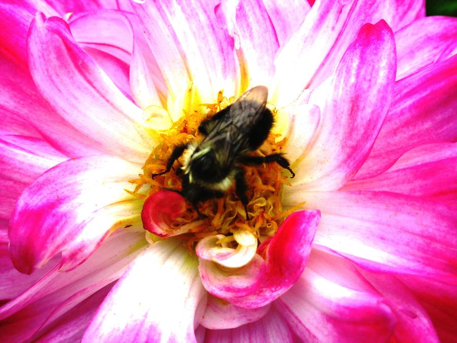 Dahlia Photograph - Pollination Nation 2 by Will Boutin Photos