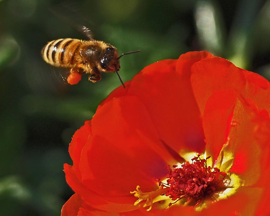 Bee Photograph - Pollination by Rona Black