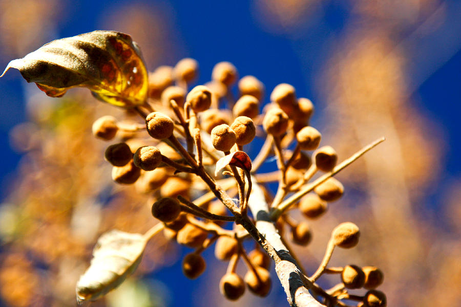 Pollyana Photograph - Pollyana Seed Pods by Christopher McPhail