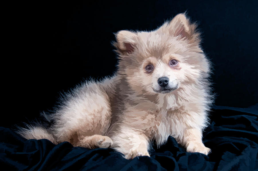 Pom Puppy Portrait by Constance Sanders