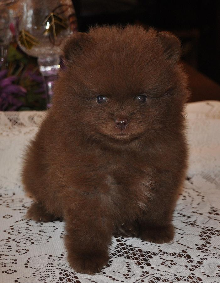 brown teacup pomeranian pomeranian chocolate photograph by evan spicer 4791
