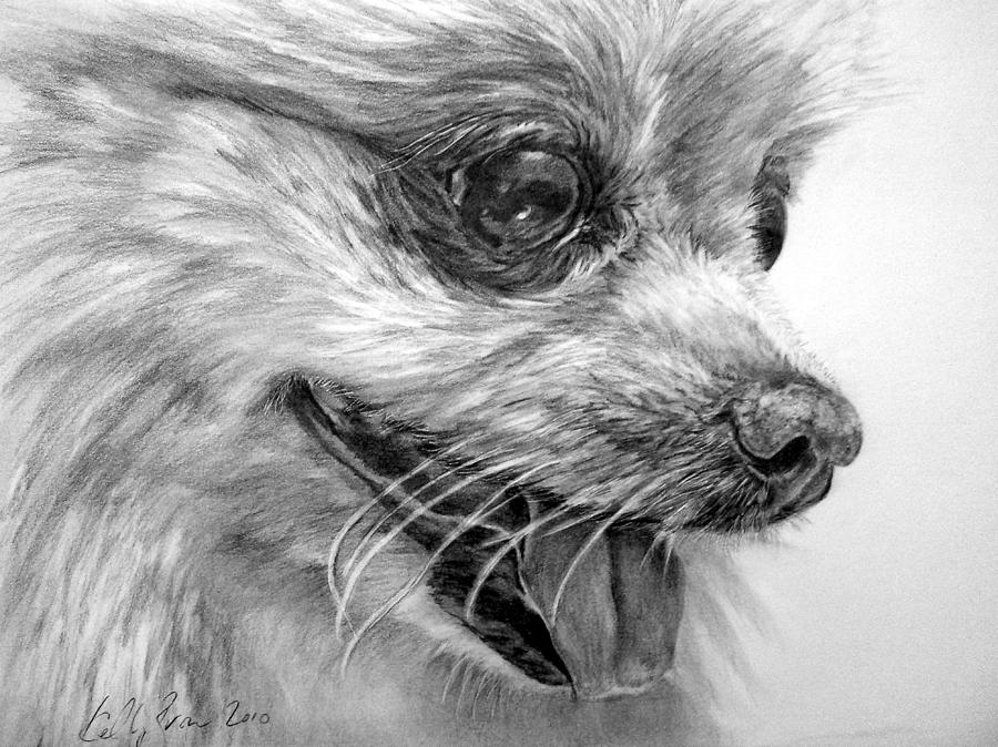Pomeranian Drawing - Pomeranian by Kelly Brown