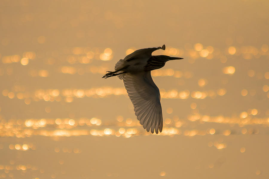 Allahabad Photograph - Pond Heron by Gaurav Singh