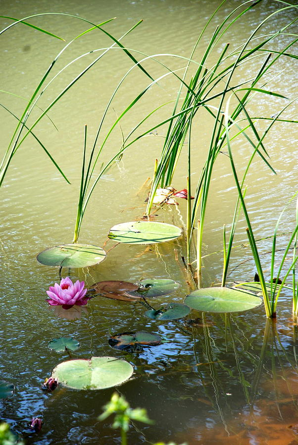 Lily Pads Photograph - Pond  Reflections by Elmer Baez