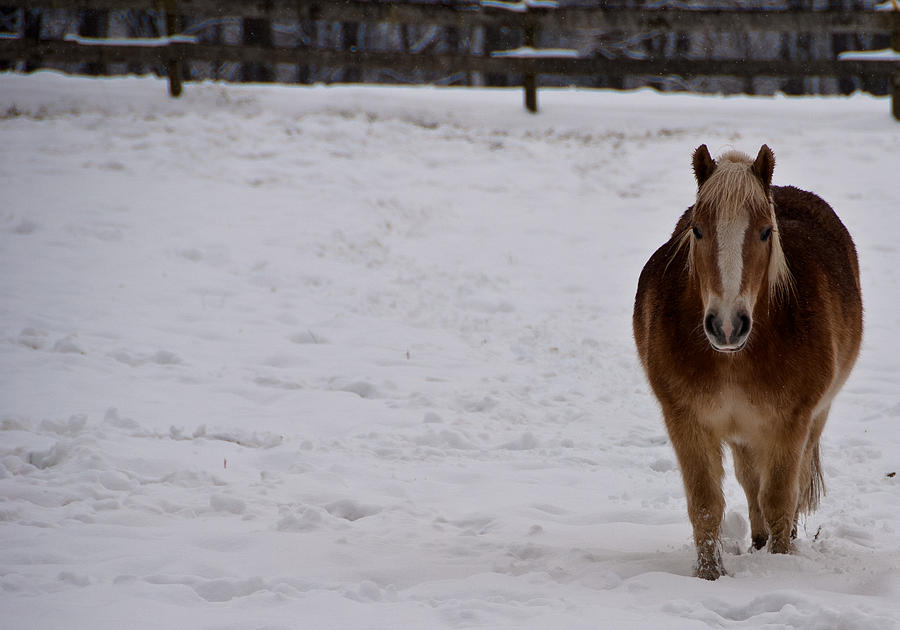 Pony Photograph - Pony In Snow by Nickaleen Neff