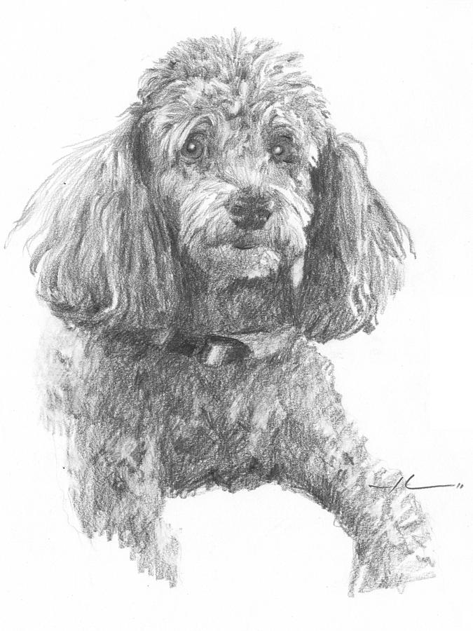 Poodle Pencil Portrait Drawing by Mike Theuer