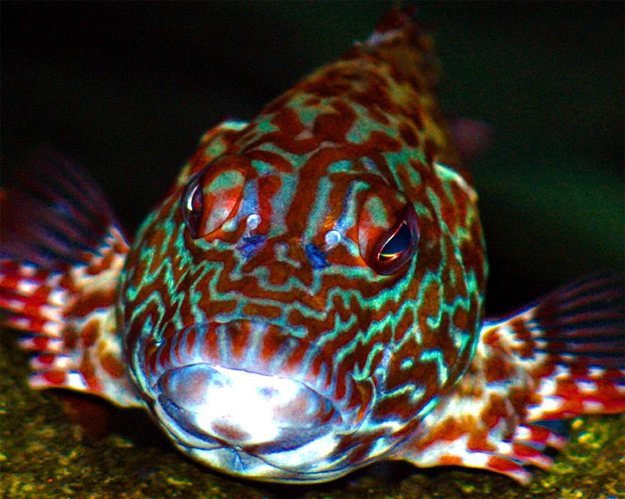 Poopaa hawaiian hawk fish photograph by lehua pekelo stearns for Kumak s fish