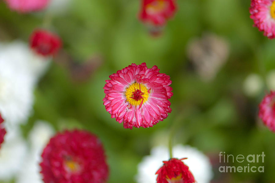 Bloom Photograph - Pop Of Pink by Sarah Crites