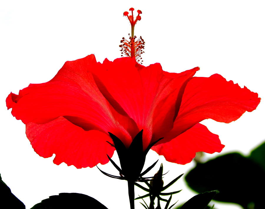 Red Flower Photograph - Pop Of Red by Ramona Johnston