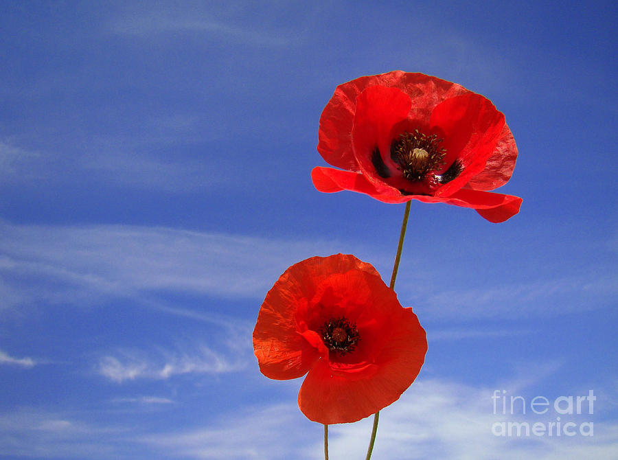 Nature Photograph - Poppies 02 by Giorgio Darrigo
