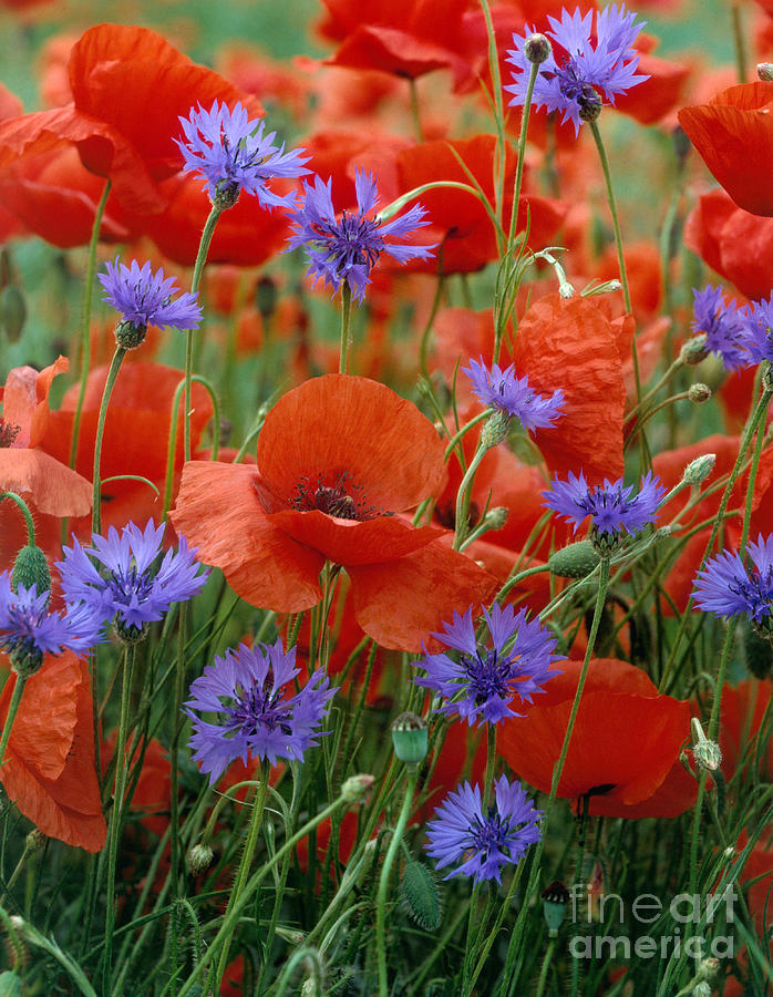 Poppies And Cornflowers Photograph By Hans Reinhard