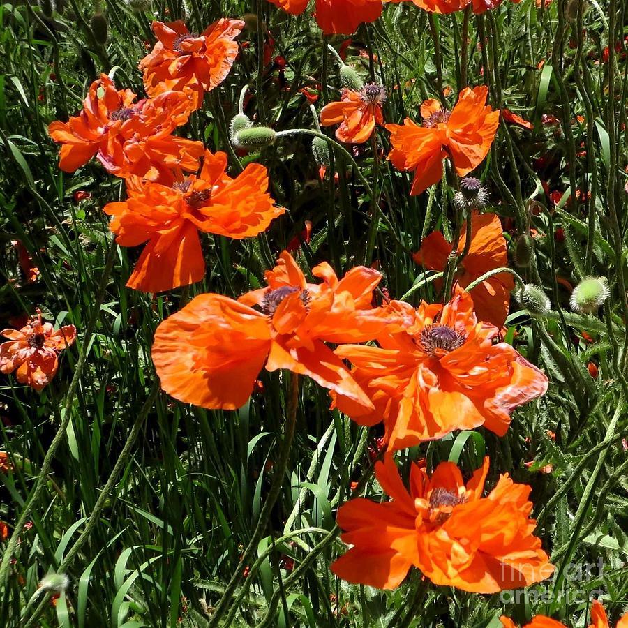 Flora Photograph - Poppies Ballet by Claudette Bujold-Poirier