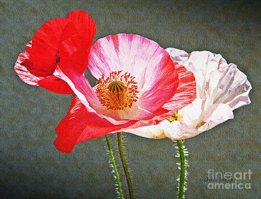 Nature Photograph - Poppies  by Chris Berry