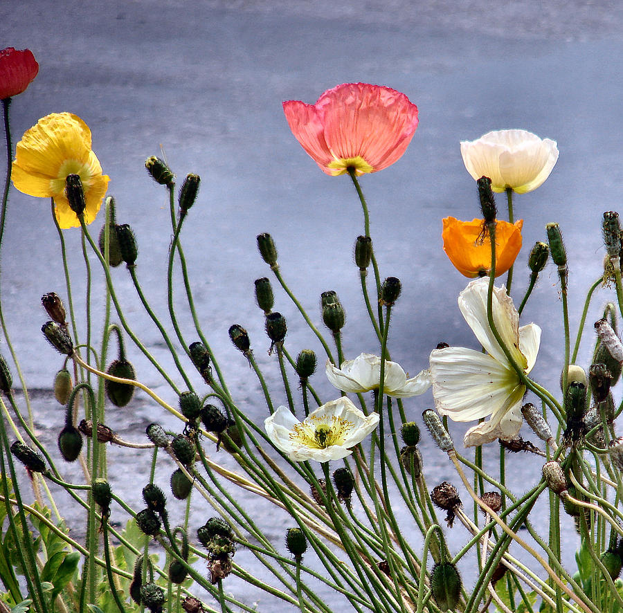 Poppies Photograph - Poppies by Dana Patterson