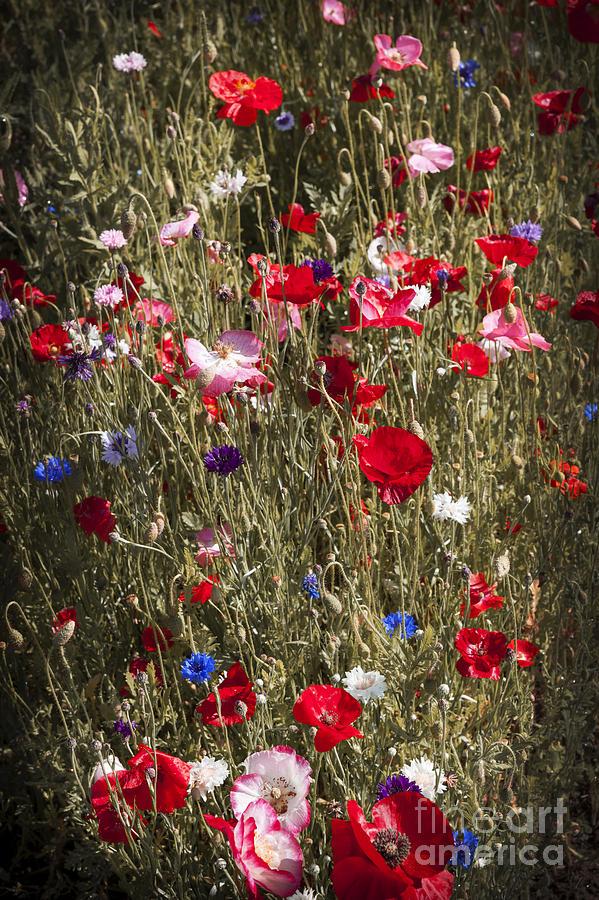 Poppies In Garden Photograph