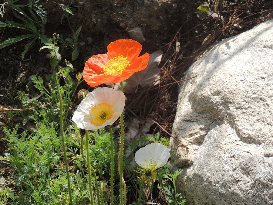 Springtime Photograph - Poppies In The Sun by Helen Carson