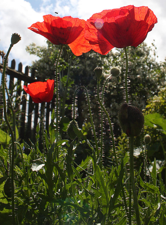 Poppies Photograph - Poppies In The Sun by Stephen Norris