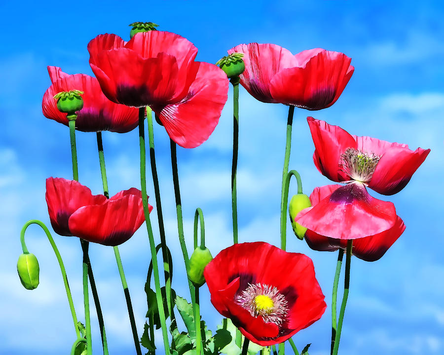 Poppies Photograph - Poppies by Susie Peek
