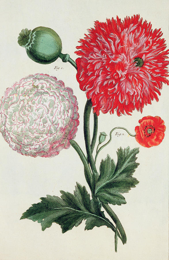 Botany Painting - Poppy by Basilius Besler