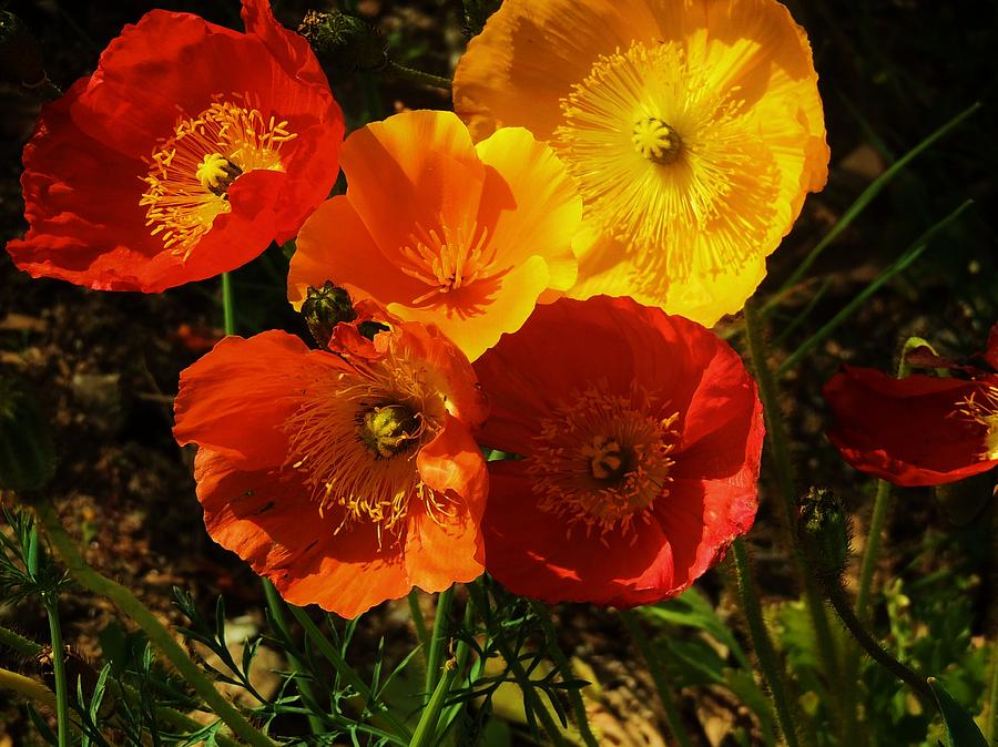 California Poppies Photograph - Poppy Bouquet by Helen Carson