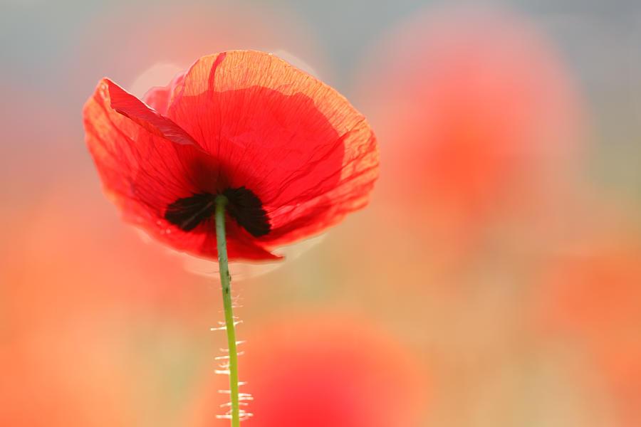 Bokeh Photograph - Poppy Dream by Roeselien Raimond