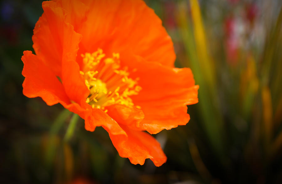 California Poppies Photograph - Poppy Emerges Like The Sun by Ronda Broatch