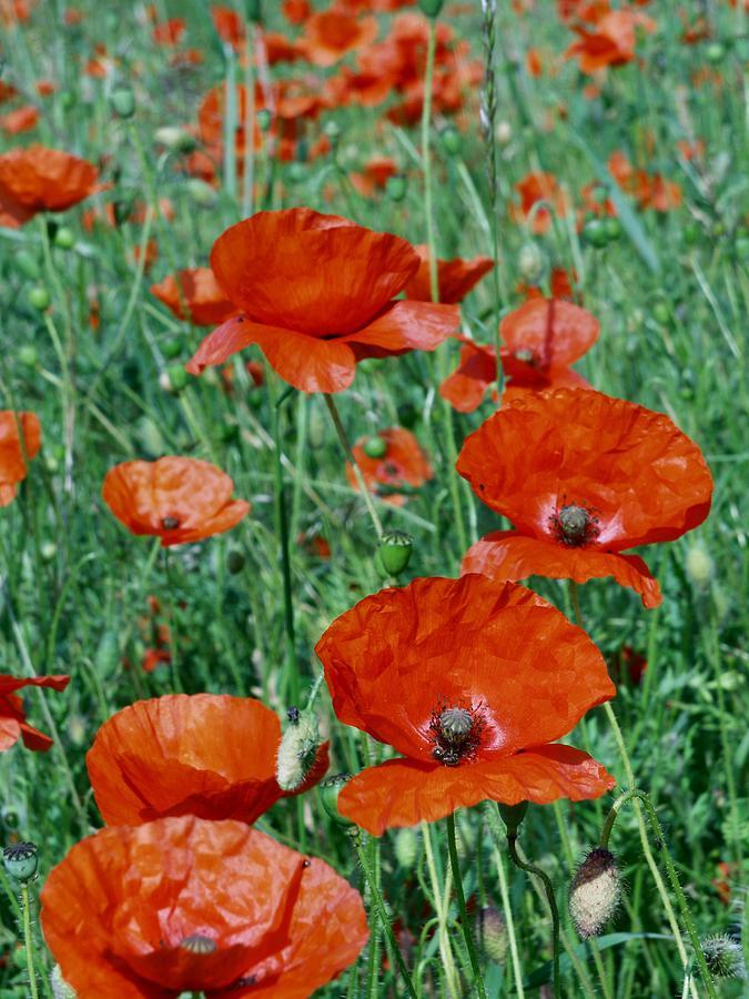 Poppy Photograph - Poppy Field 2 by Ron Harpham