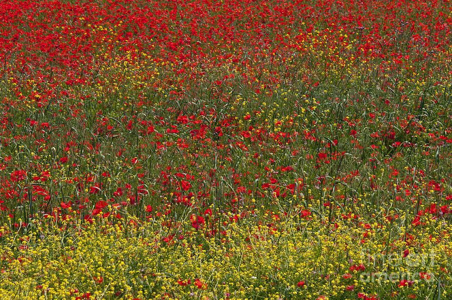 Poppy Field Photograph by Bob Phillips